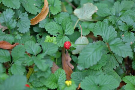 Inedible red berry of false wild strawberries of the Dushesnea Indica family