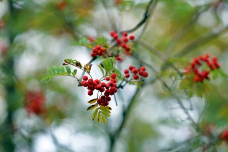 Branch with bright autumn berries of mountain ash in the october park Banco de Imagens