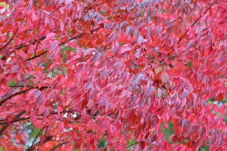 Autumn bright color of sakura leaves of the family Prunus Sargentii in the park