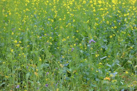 Uncultivated wild meadow with bright yellow flowers and greenery