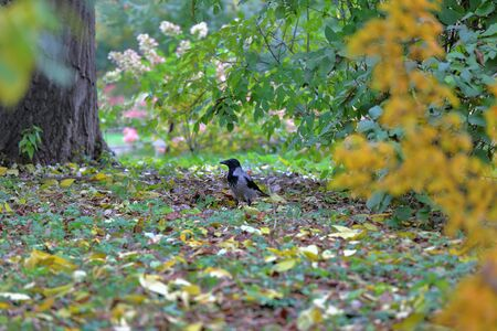 Gray-black crow on a green autumn lawn in the park