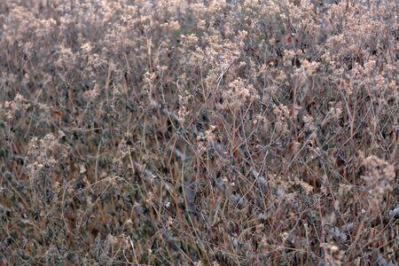 Unusual dried bush in a city park in early winter