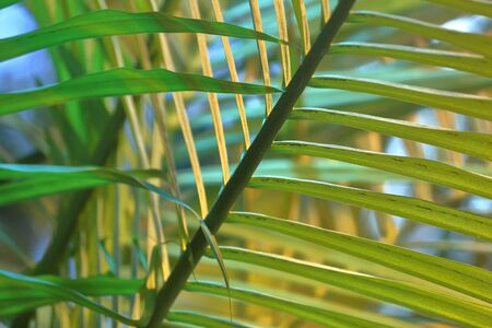 Fancy pattern of delicate green leaves of a tropical palm tree