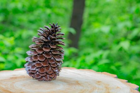 Large brown cone of spruce or pine coniferous tree on a background of green foliage Stockfoto