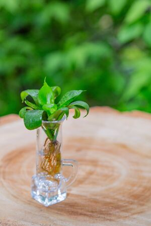 Green plant with succulent leaves and roots in a glass with water Stockfoto