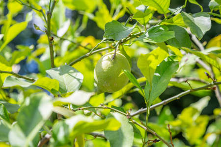 Juicy fruit of wild lemon on a tree in a city park