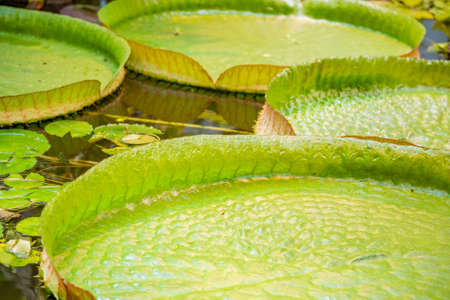 Giant green Victoria Amazonica on the water surface. Large aquatic tropical plant of the Nymphaeaceae family