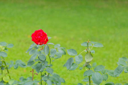 A wild-growing rose with beautiful petals blossomed in the city park Фото со стока