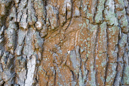The textured surface of the bark of the old perennial deciduous tree Фото со стока