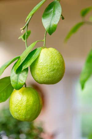 Juicy fruit of wild lemon on a tree in a city park Stock fotó - 155451611