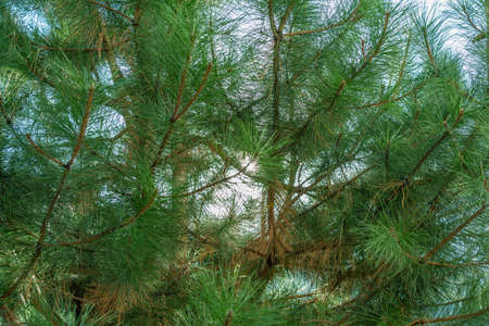 Fluffy textured leaves of evergreen coniferous tree