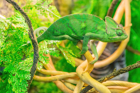 Chamaeleo Calyptratus or Yemeni Chameleon in bright green color