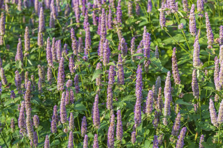 Purple fennel. Beautiful flowering perennial herbaceous plant Agastache Foeniculum
