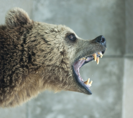 angry teddy: Angry Bear Stock Photo