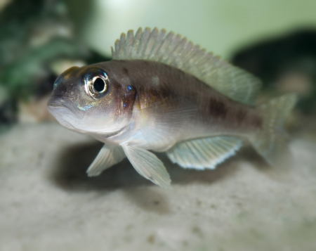 ocellatus: fish Lamprologus ocellatus Stock Photo