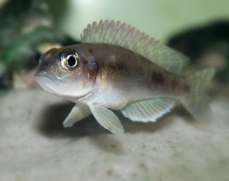 ocellatus: fish Lamprologus ocellatus Stock Photo