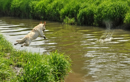 Jumping labrador in a river  photo