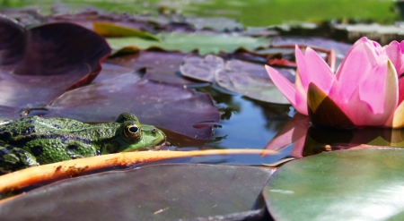 Water-lily (lotus) with bud and frog photo