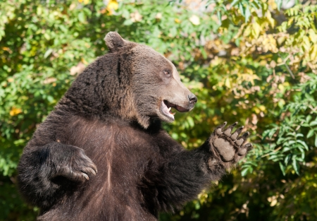 Grizzly bear says hello