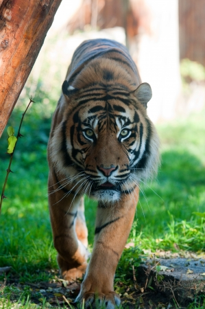 Beautiful tiger walking in a Zoo photo