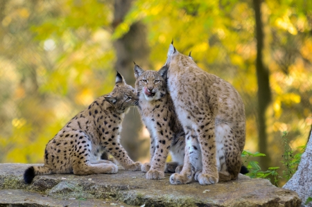 An adult female lynx  with cubs Stock Photo - 15899873