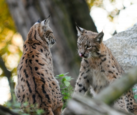 Young Lynx shows tongue to other cat