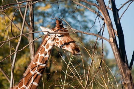 reticulated giraffe: Giraffe eating leaves from a tree