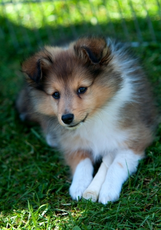 border collie puppy with bone Stock Photo