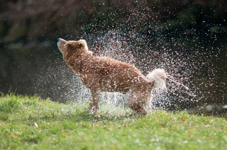 shake off: Shiba Inu dog shaking off water after bath in the river Stock Photo