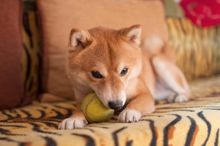 Dog on couch with ball in mouth
