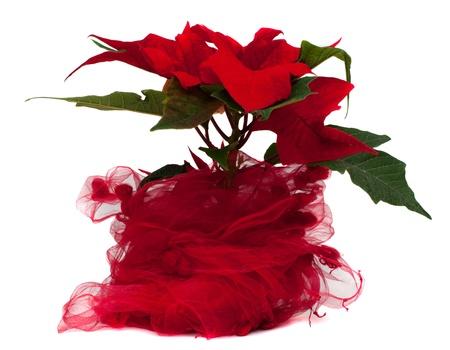 Poinsettia Christmas Flower isolated on white background