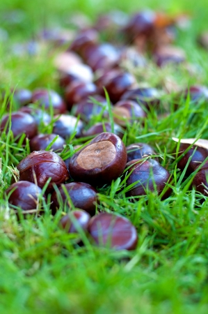 conkers: group of chestnuts  in grass Stock Photo