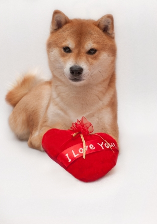 puppy dog with a red heart isolated on white background Stock Photo
