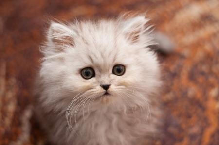 Cute little Persian kitten Stock Photo - 17546048