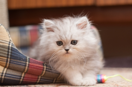 The small fluffy kitten lies in his bed Stock Photo - 17546046