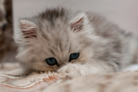 tired young persian kitten Stock Photo