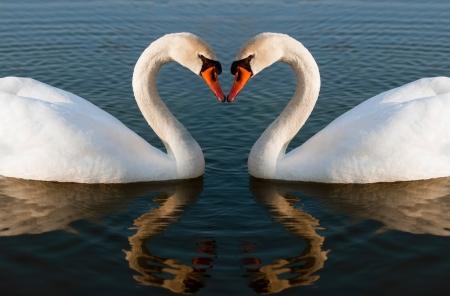 Swans Heart Stock Photo - 17695041