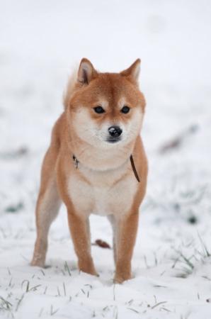 Shiba inu dog in snow