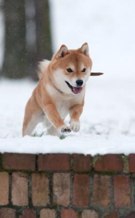 Shiba inu jumping in snow