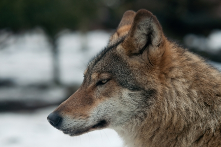 gray wolf (Canis lupus) in snow Stock Photo
