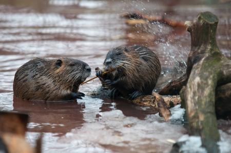 castor: Nutria comiendo en invierno