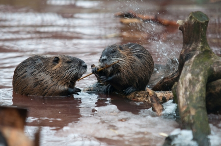 Nutria eating in winter