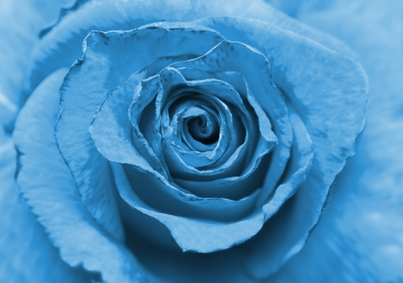 blue old rose photo