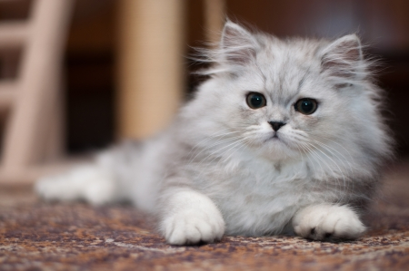 Cute little Persian kitten