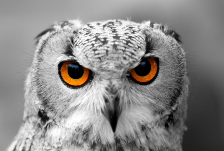 Owl in black and white with colour eyes