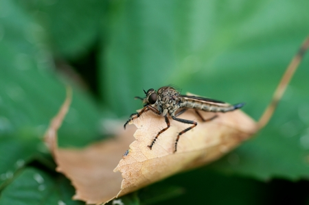 gad: Insect gad horse fly
