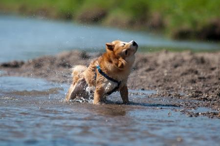 drench: Shiba inu dog shaking water Stock Photo