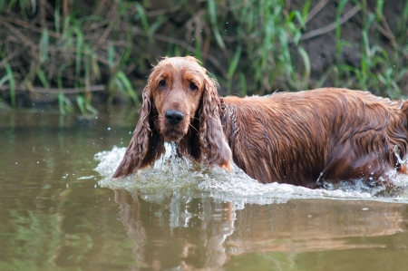 Training a hunting dog on the water, Spaniel photo