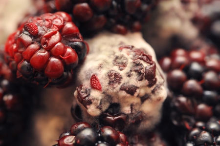 Macro photo of four mouldy blackberries covered in white fungus and decaying Imagens