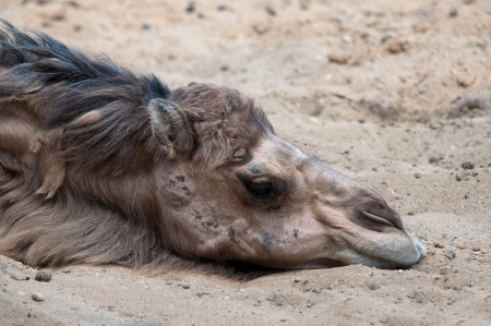 young camel in desert photo